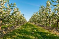 Άνθος κήπων της Apple Στοκ Φωτογραφίες