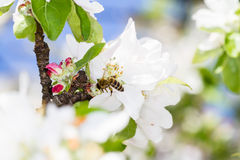 Άνθος και μέλισσα της Apple Στοκ Εικόνες