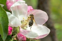 Άνθος και μέλισσα της Apple Στοκ φωτογραφία με δικαίωμα ελεύθερης χρήσης