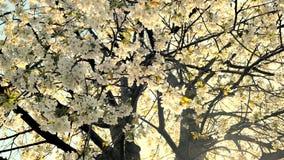 Άνθος και μπλε ουρανός δέντρων κερασιών στο ηλιοβασίλεμα, floral υπόβαθρο φύσης απόθεμα βίντεο