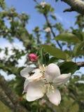 Άνθος και οφθαλμός της Apple Στοκ Φωτογραφία