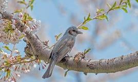 Άνθος και πουλί κερασιών στο πάρκο Goryokaku Στοκ Φωτογραφία
