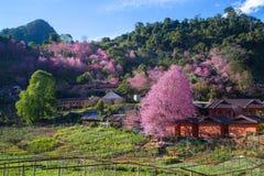 Άνθος και Sakura κερασιών Στοκ εικόνες με δικαίωμα ελεύθερης χρήσης