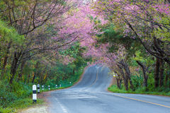 Άνθος και Sakura κερασιών στοκ εικόνες