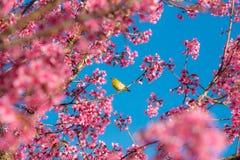 Άνθος και Sakura κερασιών Στοκ φωτογραφία με δικαίωμα ελεύθερης χρήσης