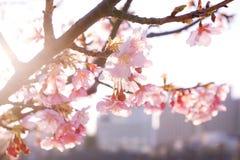 Άνθος κερασιών άνοιξη στην Ιαπωνία, στο ηλιοβασίλεμα Στοκ Εικόνες
