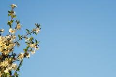 Άνθος κερασιών ενάντια στον μπλε ουρανό άνοιξη διάστημα αντιγράφων Στοκ Εικόνες