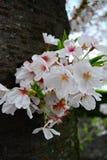 Άνθος κερασιών/λουλούδι Sakura στον κορμό δέντρων στοκ εικόνα
