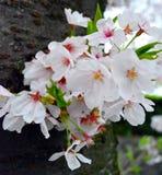Άνθος κερασιών/λουλούδι Sakura στον κορμό δέντρων στοκ φωτογραφίες