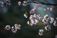 Άνθος κερασιών με τη μαλακή εστίαση, εποχή Sakura στη Μόσχα, υπόβαθρο Στοκ Φωτογραφία