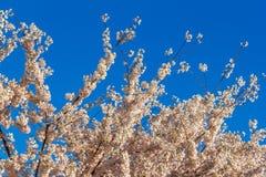 Άνθος κερασιών, λουλούδια sakura στην άνοιξη, φύση, υπόβαθρο Στοκ Εικόνες