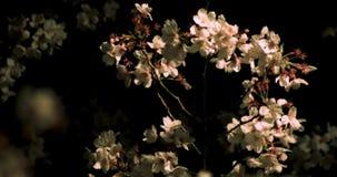 Άνθος κερασιών στο πάρκο στο μέσο πυροβολισμό του Τόκιο τη νύχτα απόθεμα βίντεο