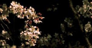 Άνθος κερασιών στο πάρκο στο μέσο πυροβολισμό του Τόκιο τη νύχτα φιλμ μικρού μήκους