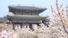 Άνθος κερασιών στο παλάτι gyeongbokgung την άνοιξη με τον τουρίστα, Νότια Κορέα φιλμ μικρού μήκους