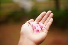 Άνθος κερασιών στο χέρι μου Κλάδοι και λουλούδια ανθών κερασιών Στοκ φωτογραφίες με δικαίωμα ελεύθερης χρήσης