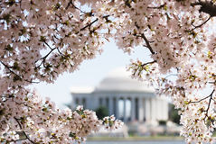 Άνθος κερασιών στο Washington DC πριν από το μνημείο του Jefferson Στοκ Φωτογραφίες