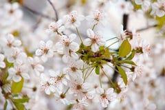 Άνθος κερασιών την άνοιξη, ανθίζοντας δέντρα κερασιών, λουλούδι Gard Στοκ Φωτογραφία
