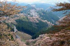 Άνθος κερασιών της Ιαπωνίας Στοκ Εικόνες