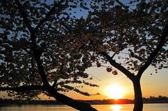 Άνθος 118 κερασιών Στοκ φωτογραφίες με δικαίωμα ελεύθερης χρήσης
