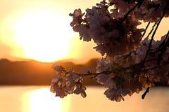Άνθος κερασιών Στοκ Εικόνα