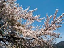 Άνθος κερασιών Kawaguchigo Στοκ Εικόνες