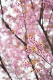 Άνθος κερασιών Sakura Στοκ Εικόνα
