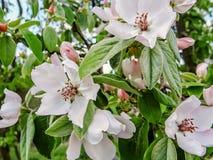 Άνθος κυδωνιών λουλουδιών την πρώιμη άνοιξη Στοκ Εικόνα
