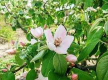 Άνθος κυδωνιών λουλουδιών την πρώιμη άνοιξη Στοκ φωτογραφία με δικαίωμα ελεύθερης χρήσης