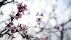Άνθος λουλουδιών αμυγδάλων ή δαμάσκηνων απόθεμα βίντεο