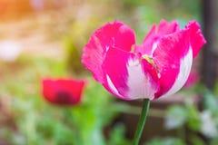 Άνθος λουλουδιών παπαρουνών οπίου στον άγριο τομέα Στοκ Φωτογραφίες