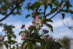 Άνθος λουλουδιών της Apple στο χρόνο άνοιξη στοκ φωτογραφία με δικαίωμα ελεύθερης χρήσης