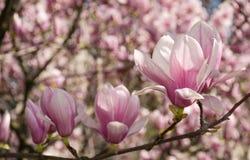 Άνθος λουλουδιών Magnolia την άνοιξη Στοκ Φωτογραφίες