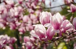 Άνθος λουλουδιών Magnolia την άνοιξη Στοκ φωτογραφία με δικαίωμα ελεύθερης χρήσης