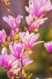 Άνθος λουλουδιών Magnolia Στοκ Φωτογραφία