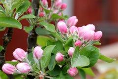 Άνθος μήλων αρχών του καλοκαιριού Στοκ εικόνα με δικαίωμα ελεύθερης χρήσης