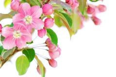 άνθος μήλων Στοκ Εικόνα