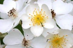άνθος μήλων Στοκ φωτογραφίες με δικαίωμα ελεύθερης χρήσης