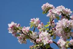 άνθος μήλων Στοκ Φωτογραφίες