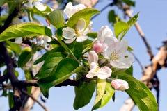 άνθος μήλων Στοκ εικόνα με δικαίωμα ελεύθερης χρήσης