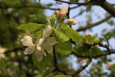 άνθος μήλων Στοκ Φωτογραφία