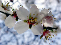 άνθος μήλων Στοκ εικόνες με δικαίωμα ελεύθερης χρήσης