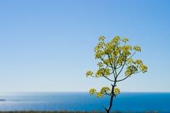 Άνθος λουλουδιών μαράθου Στοκ Εικόνες