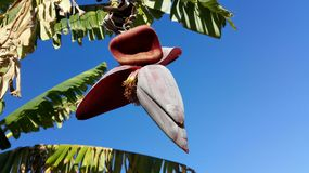 Άνθος μπανανών στο δέντρο μπανανών Στοκ Εικόνα