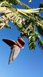 Άνθος μπανανών στο δέντρο μπανανών Στοκ Φωτογραφία