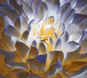 Άνθος μπλε-κίτρινος-λευκού χρυσάνθεμων Υπόβαθρο μιας κινηματογράφησης σε πρώτο πλάνο λουλουδιών χρυσάνθεμων Μακροεντολή Στοκ εικόνα με δικαίωμα ελεύθερης χρήσης