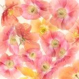 Άνθος λουλουδιών παπαρουνών Στοκ φωτογραφία με δικαίωμα ελεύθερης χρήσης