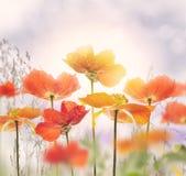 Άνθος λουλουδιών παπαρουνών Στοκ εικόνες με δικαίωμα ελεύθερης χρήσης