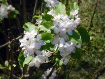 Άνθος λουλουδιών της Apple Στοκ Εικόνες