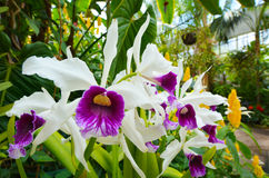 Άνθος λουλουδιών της Iris Στοκ φωτογραφία με δικαίωμα ελεύθερης χρήσης