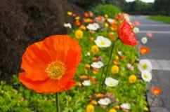 Άνθος λουλουδιών coronaria Anemone garde Στοκ Εικόνες